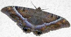 "Black Witch Moths – Female. Find ""9"" on wings. Most noted on forewings. Number 9 of Witchcraft."