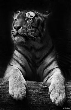 Black & White Photo of Tiger Beautiful Cats, Animals Beautiful, Cute Animals, Simply Beautiful, I Love Cats, Big Cats, Bengalischer Tiger, Grand Chat, Majestic Animals