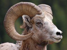 Big Horn ram, Banff