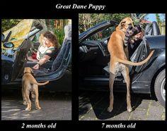 Nahla the Great Dane puppy