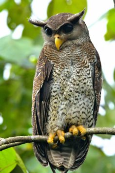 _Barred Eagle Owl - by johio2 via http://www.flickr.com/photos/67287130@N07/9680791060/