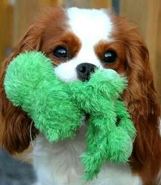 Got my green woobie. --------------Cavalier King Charles Spaniel
