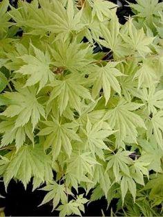 Acer palmatum Ki Hachijo 3 - Year Graft