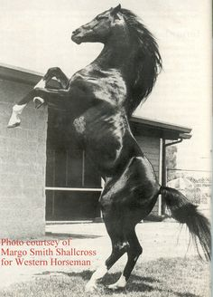 Cass Ole (Arabian that played 'The Black Stallion') without his black make-up on socks, star on face.