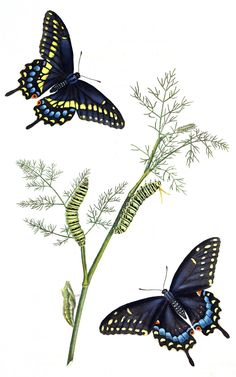Black Swallowtail , Papilio polyxenes The natural history of the rarer lepidopterous insects of Georgia, volume 1, Tab 1 1797