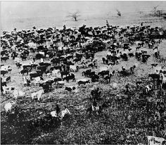Western Trail - A herd of Texas Longhorn Cattle, south of dodge City, Kansas in 1878.
