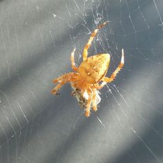 16 September 2014: Orange spider packs a picnic. I'm greatly enjoying having this amazing-coloured spider living by my back door at the moment. Getting a half-decent photo has been a challenge, but I'm pleased with this one.