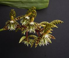 Catasetum semicirculatum is found in Brazil, Rondônia State, municipality of Costa Marques. This plant also reported from Peru. It grows on palms at an altitude of 140 meters. Orchid Plant Care, Orchid Plants, Orchids, Orchid Flowers, Sun Loving Plants, All Plants, House Plants, Strange Flowers, Exotic Flowers