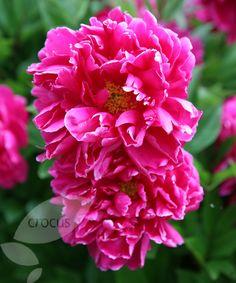 14e14f7e5ee6f Buy paeony / peony Paeonia lactiflora 'Karl Rosenfield': Delivery by Crocus  Wonderful Flowers