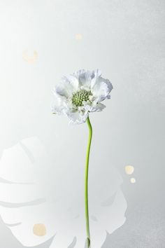 The scabiosa takes its slightly unappealing name from the Latin word scabere, meaning to scratch.