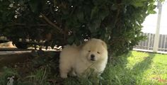 This Chow Chow puppy seems to be camerashy, and tries to avoid her owner from capturing some video of her by running and hiding. Watch the video below and see how adorable this fluffy little Chow Chow is! Independent and dignified, Chows usually attache themselves to one person even though theywill have affection for the …