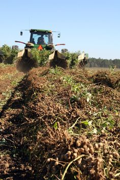 Peanuts being plowed on a South Georgia farm.  From UGA CAES.