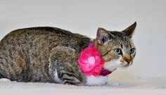 Meet beautiful Bonnie! This sweet girl was rescued from a high kill shelter the day she was to be euthanized. She's a precious girl who loves to be petted and she just purrs and purrs. She's a calm girl who likes treats and toys. If you'd like to...
