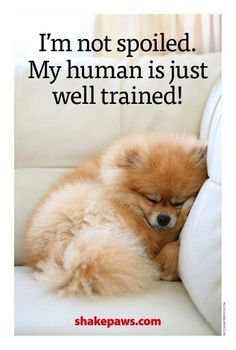 Marvelous Pomeranian Does Your Dog Measure Up and Does It Matter Characteristics. All About Pomeranian Does Your Dog Measure Up and Does It Matter Characteristics. Cute Puppies, Cute Dogs, Dogs And Puppies, Doggies, I Love Dogs, Puppy Love, Animals And Pets, Cute Animals, Cute Pomeranian