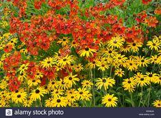 Close up of a garden flower border with colourful Helenium 'Moerheim Beauty' and Rudbeckia fulgida 'Goldsturn' Stock Photo
