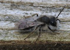 A fuzzy little bee on my back porch. So cute! Probably a mining bee, Andrenidae family, based on the wing venation.