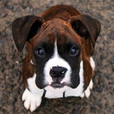 A little cuckoo in the best way. These are a few ways that parents of Boxer puppies might describe their pooches. Do you think a Boxer puppy is right for you? Brush up on your facts about Boxer puppies before you adopt! Boxer And Baby, Boxer Love, Animals And Pets, Baby Animals, Cute Animals, Beautiful Dogs, Animals Beautiful, I Love Dogs, Cute Dogs