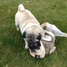Playing some FACE 😜🤪 We love you ❤️ @woofpug
