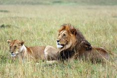 5 mane-raising facts about lions this World Lion Day...