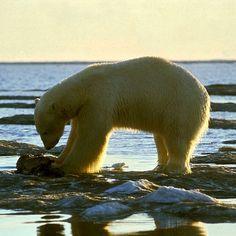 Na który gatunek pingwinów najczęściej polują niedźwiedzie polarne? na żaden! Niedźwiedzie polarne żyją na półkuli północnej, a pingwiny - południowej.