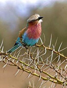 birds in thornbush | Thorn bird | God in Nature