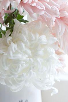 Chrysanthemum 'Boulou White' Beautiful Flowers Images, Unique Flowers, Flower Images, My Flower, Pretty Flowers, Flower Power, November Birth Flower, Crysanthemum, White Chrysanthemum