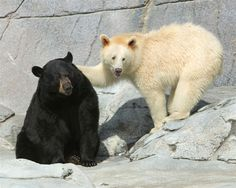 black bear and albino black bear=)