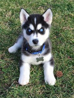 Find Out More On Athletic Siberian Huskies Grooming siberianhuskyowner huskeycollie siberianhuskyinformation is part of Siberian husky puppy - Cute Husky Puppies, Puppy Husky, Siberian Husky Puppies, Siberian Huskies, Huskies Puppies, Baby Huskies, Lab Puppies, Pomsky Dog, Retriever Puppies