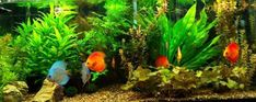 WOW!!! What a beautifully planted Discus tank.
