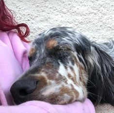 Tired now. Irish Setter Dogs, English Setters, Irish Wolfhound, Best Pillow, Dog Gifts, Dog Stuff, Puppy Love, Animals And Pets, Fur Babies