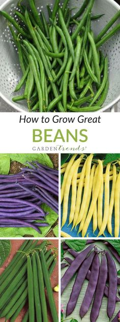 Green and yellow bush beans, pole, lima, dried and fava beans: we love them all! Fresh beans are easy to grow and highly nutritious, and the new introductions in the last few years provide wonderful color, exceptional yields and much needed disease resistance.