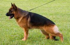 Rotenmund German Shepherd Dogs