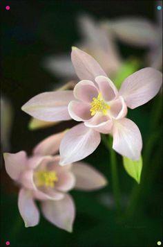 Columbine / Granny's bonnet (Aquilegia) Real Flowers, Cut Flowers, Amazing Flowers, Pink Flowers, Beautiful Flowers, Wedding Coloring Pages, Lavender Garden, Language Of Flowers, Little Plants