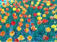Tulip Festival Holland, Michigan