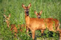 Őz a pilisben - Google-keresés Kangaroo, Google, Animals, Baby Bjorn, Animales, Animaux, Animal, Animais