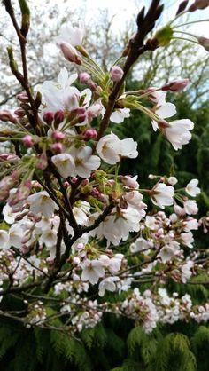Unique Kiraz cicegi Kirschbl te Flora in K ln