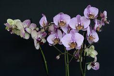 Víte, jak se starat o orchideje, aby se vám odvděčily svými nádhernými květy?