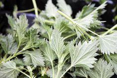 Luonto pursuaa juuri nyt ilmaista ruokaa. Villiyrttien kausi kestää juhannukseen. HS:n testillä voit selvittää, kuinka hyvin tunnet kasvit.