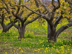 Olson's Cherry Orchard (this may be a pecan orchard in the same area), Sunnyvale, California. For maximum blossoms and yellow mustard flowers, visit during mid- to late-March after a wet winter.