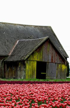 Such Beautiful Tulips By The Old Barn