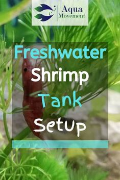People tend to have a hard time taking care of aquatic pets, so this article will guide you on everything you need to know about a freshwater shrimp tank. Pet Shrimp, Ghost Shrimp, Shrimp Tank, Saltwater Tank, Saltwater Aquarium, Freshwater Aquarium Shrimp, Freshwater Fish, Aquatic Turtles, Sea Turtles