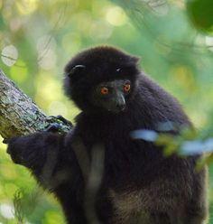 Milne-Edward's sifaka (Propithecus edwardsi), Ialatsara Lemur Forest Camp | Flickr - Photo Sharing!