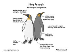 pinterestadelie penguin diagram google search