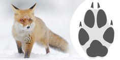 Nio frågor – känner du igen rovdjurens spår? | Quiz på Svensk Jakt Fox, Illustration, Animals, Animales, Animaux, Animal, Illustrations, Animais, Foxes