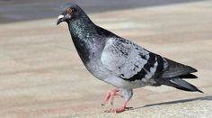 Un pigeon a été placé en détention après avoir été trouvé transportant une lettre de menaces envers l'Inde près la frontière hautement militarisée avec le