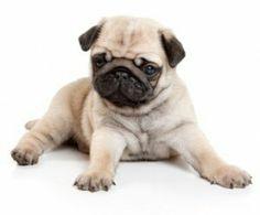 Imagem de cute, dog, and pug