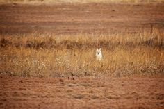 A coyote in his winter coat resting in some tall grass between prairie dog towns at Badlands National Park. Christian Begeman photo.