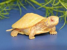 "Kermit may sing, ""It Ain't Easy Being Green"" but I bet its easier than this!  Albino red ear slider"