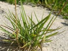 Zoysia macrantha - Google Search Seed Bombs, Grass, Coastal, Seeds, Plants, Google Search, Paper, Grasses, Plant