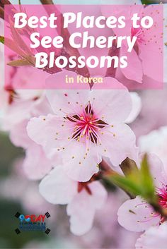 Best Places to See Cherry Blossoms in Korea
